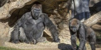 gorilas dieron positivo