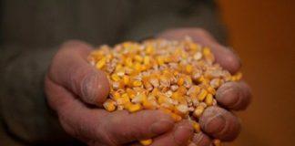 maíz trasngénico