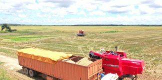 25 mil hectáreas de arroz en Guárico